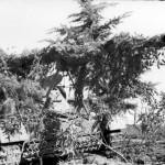 camouflaged Panzerjager Nashorn Hornisse of 525th Schwere Panzerjager Abteilung Nettuno Italy 2